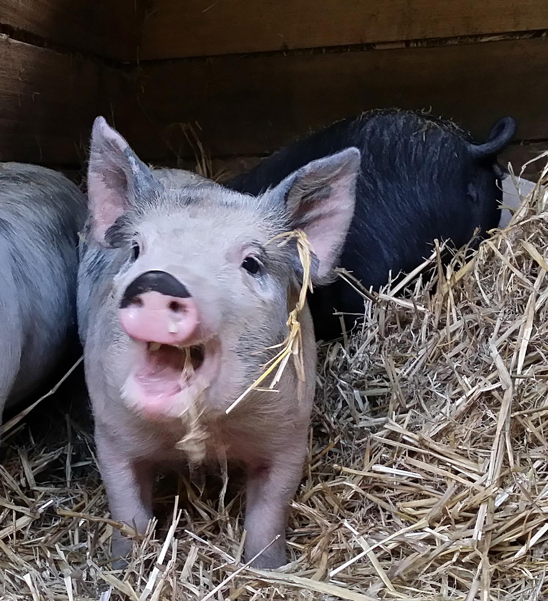 half nose pig 02