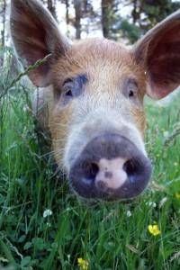 pigs DSC01112 sm