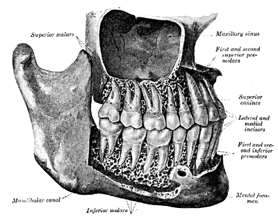 lateral human teeth