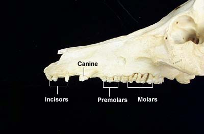 lateral view pig teeth