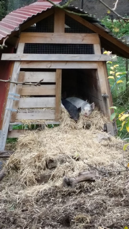 pigs snug in their house sm